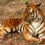 Foresters go tiger-spotting with 1,200 cameras